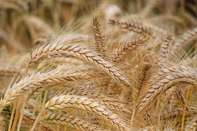 Whole wheat fuels the brain for good memory